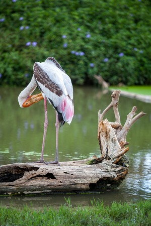 Dalmatian pelican standing on the water Stock Photo