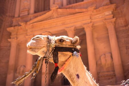 Camels in front of the Treasury at Petra the ancient City Al Khazneh in Jordan