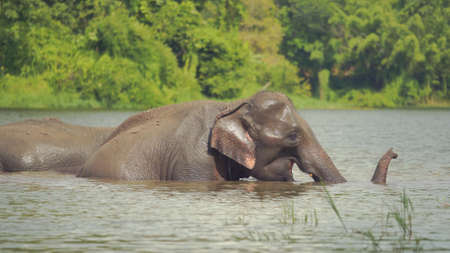 Family elephants enjoin take shower and playing in the jungle in Thailand