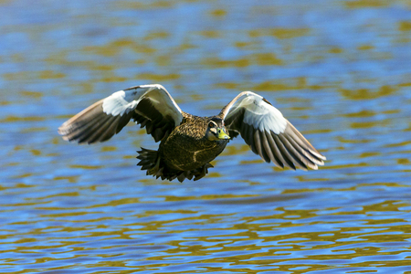 Pacific Black Duck flying over a lake. Stock Photo