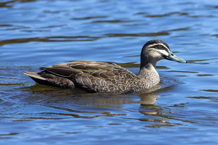 Pacific Black Duck swimming in a lake.