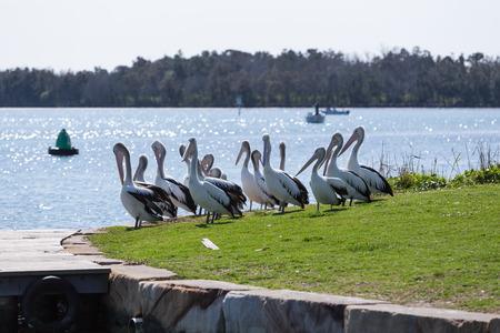 Pelicans near an ocean inlet.
