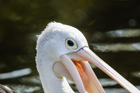 Close up of a Pelicans head in the sunshine.
