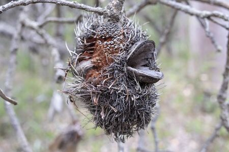 Dead Bottle Brush plant in the Australian outback 写真素材