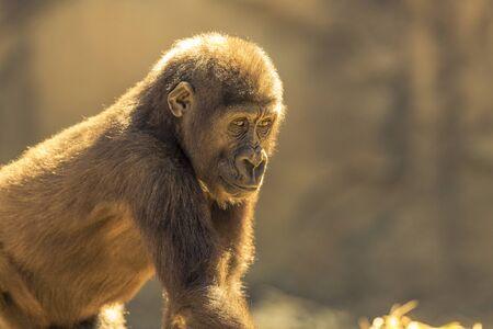 Gorilla in the sunshine.