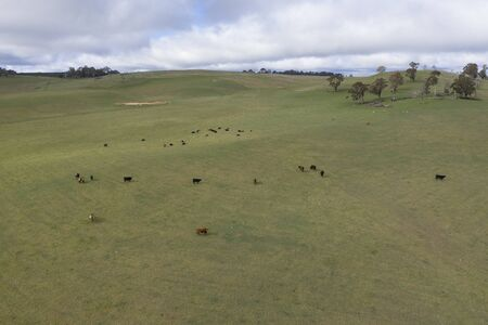 Cows in a grassy green field in the Australian outback Reklamní fotografie