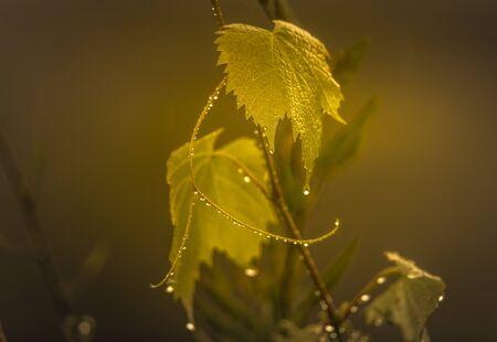 Rain drops on an ornamental grape vine in a domestic garden.