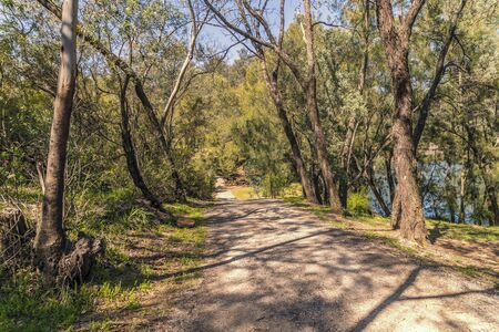 A dirt road through a forest of gum trees in a park.