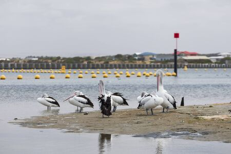 A flock of pelicans sitting on the side of a large estuary near the mouth of the River Murray in Goolwa Stock Photo