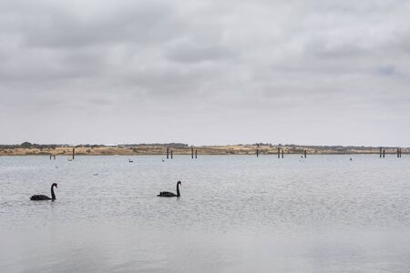 Two black swans paddling in a large estuary near the mouth of the River Murray in Goolwa Reklamní fotografie