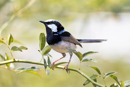 A blue faced male Superb Fairy-Wren sitting on a green branch Stock Photo