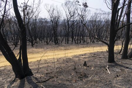 Gum trees burnt alongside a road in the bushfires in The Blue Mountains in Australia