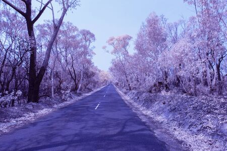 Eucalyptus trees damaged by bushfire in The Blue Mountains in Infrared Stock Photo