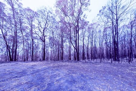 Eucalyptus trees damaged by bushfire in The Blue Mountains in Infrared Foto de archivo