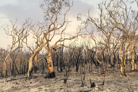 Severely burnt Eucalyptus trees with no leaves after a bushfire in The Blue Mountains
