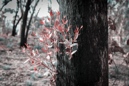 Regenerating tree leaves after the bush fires in Australia
