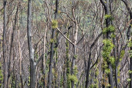 Tree regeneration in The Blue Mountains after the Australian bush fires Stock Photo