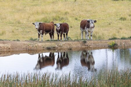 Cows at a watering hole in a large grassy agricultural field