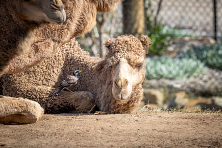 A small bird sitting on the leg of a brown Camel