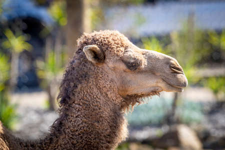 A brown Camel in profile looking into the distance