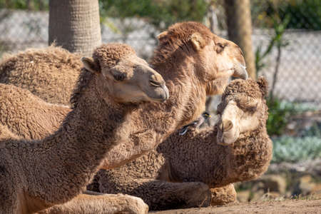 Three brown camels and a bird sitting on ground side by side