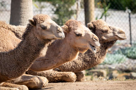 Three brown camels sitting on the ground side by side