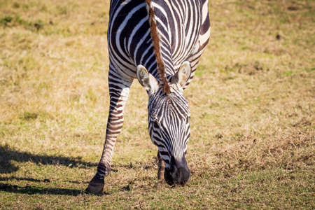 A black and white Zebra eating green grass in an open field