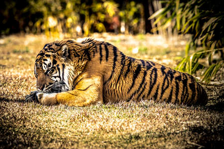 A large African Tiger resting on green grass in the sunshine