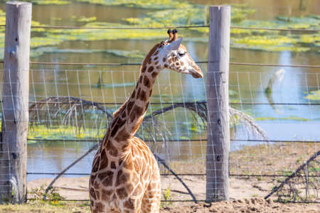 A young Giraffe eating leaves in a field in the sunshine Stock Photo