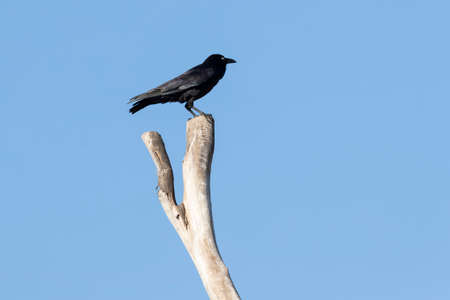 A black Crow standning on a dead tree branch with blue sky background