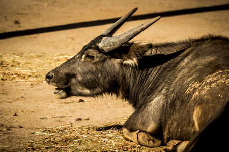 A black Water Buffalo with large horns sitting on the ground Stock Photo