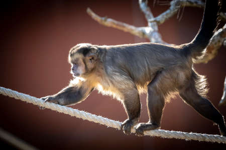 A Tufted Capuchin monkey walking on a rope in the sunshine