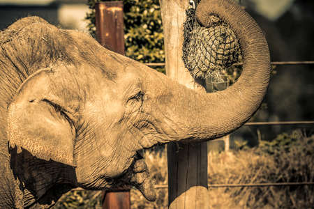 An elephant using their trunk to get to food on a pole