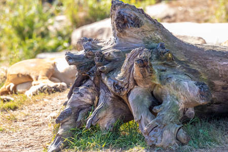 The root system of a large tree that has fallen over Stock Photo