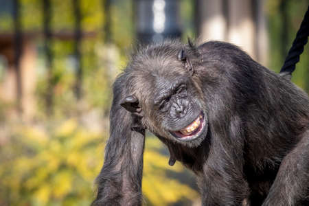 A Chimpanzee resting in the sunshine while looking into the distance Stock Photo
