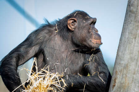 A Chimpanzee resting in the sunshine while looking into the distance