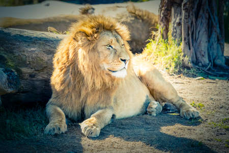 A male Lion relaxing in the sunshine