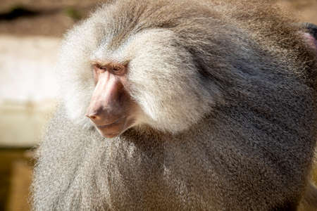 A large male Hamadryas Baboon relaxing in the sunshine