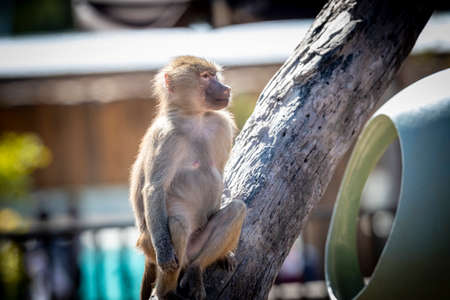 An adolescent Hamadryas Baboon relaxing in the sunshine