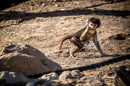 A baby Hamadryas Baboon eating food in the outdoors