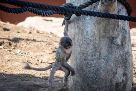 A baby Hamadryas Baboon playing on a wooden structure Stock Photo