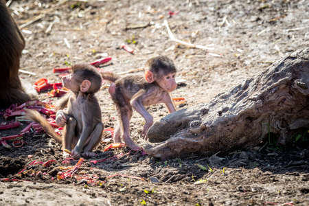 Two baby Hamadryas Baboons playing outside in the sunshine