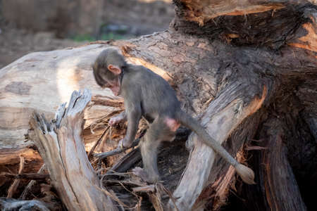 A baby Hamadryas Baboon playing outside on a fallen tree branch