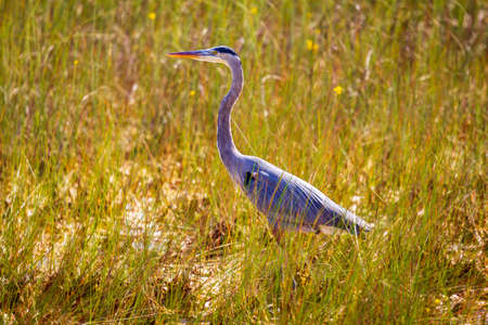Photograph of a Great Blue Heron bird hunting for food in the Everglades