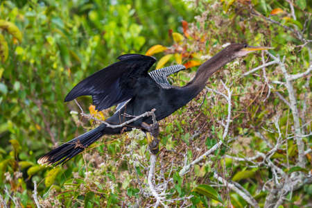 Photograph of an Anhinga bird standing on tree branches with outstretched wings in the Everglades Banque d'images