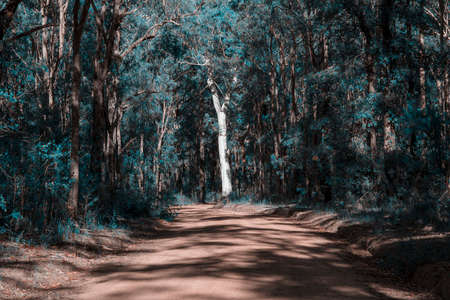 Photograph of a large tree in the sunshine on the side of a dirt track in a forest in the Blue Mountains in New South Wales in Australia