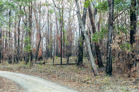 Photograph of trees burnt by severe bushfire in a national park in the Blue Mountains in New South Wales in Australia