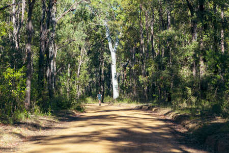 Photograph of a runner passing a large tree in the sunshine on the side of a dirt track in a forest in the Blue Mountains in New South Wales in Australia