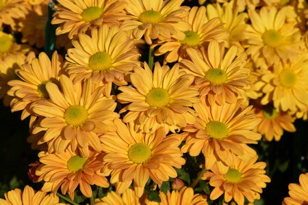 ree marigold or Mexican sunflower blooming, colorful of yellow pattern, Focus at a flower in center.