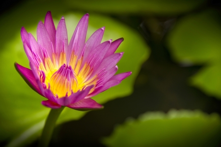 The thailand lotus in my garden Stock Photo - 15058298